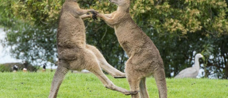 kango 1
